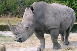 Rhinocéros gris. Source : http://data.abuledu.org/URI/50450648-rhinoceros-gris