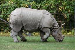 Rhinocéros indien à une corne. Source : http://data.abuledu.org/URI/573cd7ba-rhinoceros-indien-a-une-corne