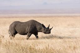 Rhinocéros noir. Source : http://data.abuledu.org/URI/47f50cb7-rhinoc-ros-noir