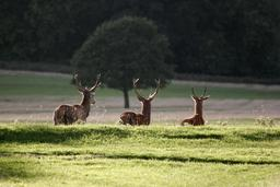 Richmond Park - Londres-Angleterre. Source : http://data.abuledu.org/URI/52080b56-richmond-park-london-england-02102005-jpg