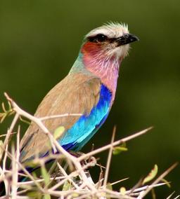 Rollier à longs brins au Botswana. Source : http://data.abuledu.org/URI/52d06bca-rollier-a-longs-brins-au-botswana