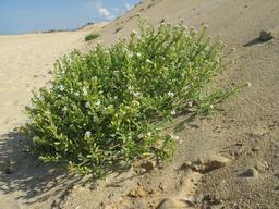 Roquette de mer sur la dune. Source : http://data.abuledu.org/URI/582eb574-roquette-de-mer-sur-la-dune