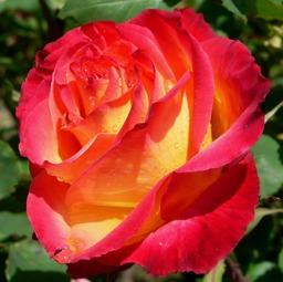 Rose du moment parfait. Source : http://data.abuledu.org/URI/501f0abf-rose-du-moment-parfait