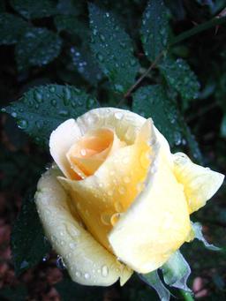 Rosée du matin sur une rose. Source : http://data.abuledu.org/URI/519d158a-rosee-du-matin-sur-une-rose