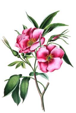 Roses en boutons et en fleurs. Source : http://data.abuledu.org/URI/53ed08e1-roses-en-boutons-et-en-fleurs