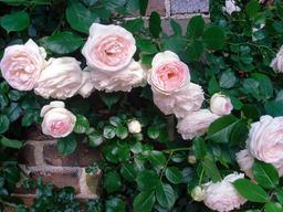 Roses, Nakanoshima Park, Osaka. Source : http://data.abuledu.org/URI/5647d60a-roses-nakanoshima-park-osaka