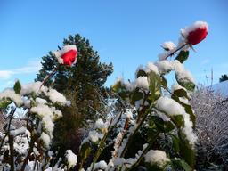 Roses sous la neige. Source : http://data.abuledu.org/URI/513ee661-roses-sous-la-neige