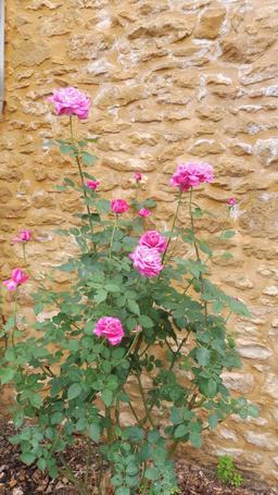Rosier d'août à Montignac. Source : http://data.abuledu.org/URI/5994d1c8-rosier-d-aout-a-montignac