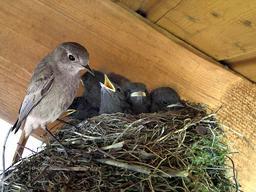 Rougequeue femelle au nid avec ses oisillons. Source : http://data.abuledu.org/URI/5533eca0-rougequeue-femelle-au-nid-avec-ses-oisillons