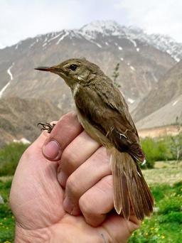 Rousserolle à grand bec au Tadjikistan. Source : http://data.abuledu.org/URI/529b52ac-rousserolle-a-grand-bec-au-tadjikistan