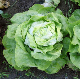 Salade. Source : http://data.abuledu.org/URI/47f5f724-salade-