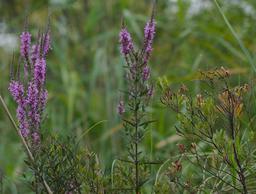 Salicaire commune en fleur. Source : http://data.abuledu.org/URI/55abf0fa-salicaire-commune-en-fleur
