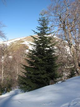 Sapin sous la neige. Source : http://data.abuledu.org/URI/536bbeb9-sapin-sous-la-neige