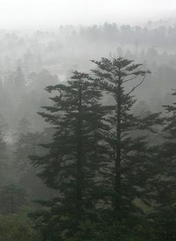 Sapins chinois dans le brouillard. Source : http://data.abuledu.org/URI/536bb654-sapins-chinois-dans-le-brouillard