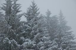 Sapins sous la neige. Source : http://data.abuledu.org/URI/5907a02f-sapins-sous-la-neige