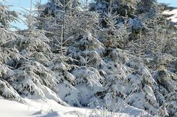 Sapins sous la neige. Source : http://data.abuledu.org/URI/5907a0b7-sapins-sous-la-neige