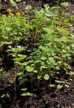 Sarrasin dans le jardin botanique de Prague. Source : http://data.abuledu.org/URI/54ba90ec-sarrasin-dans-le-jardin-botanique-de-prague