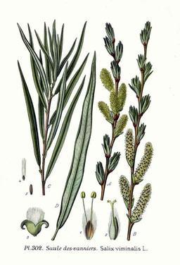 Saule des vanniers. Source : http://data.abuledu.org/URI/50970e8d-saule-des-vanniers