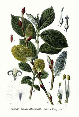 Saule marsault. Source : http://data.abuledu.org/URI/509808b2-saule-marsault