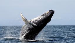 Saut de baleine. Source : http://data.abuledu.org/URI/501b13be-saut-de-baleine
