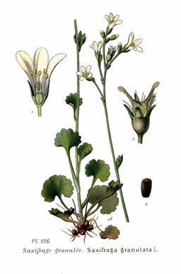 Saxifrage granulée. Source : http://data.abuledu.org/URI/504e6cf2-saxifrage-granulee