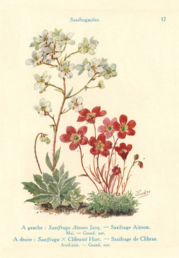 Saxifrages. Source : http://data.abuledu.org/URI/53adbd6c-saxifrages