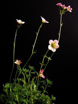 Saxifrages en fleurs. Source : http://data.abuledu.org/URI/54b2d034-saxifrages-en-fleurs