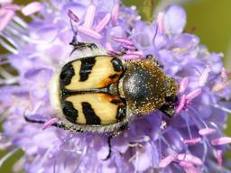 Scarabée sur fleur de mors du diable. Source : http://data.abuledu.org/URI/58a0bde8-scarabee-sur-fleur-de-mors-du-diable