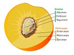 Schéma d'un noyau de pêche. Source : http://data.abuledu.org/URI/502a08a4-schema-d-un-noyau-de-peche