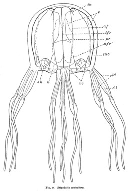 Schéma de cuboméduse des Caraïbes. Source : http://data.abuledu.org/URI/54919902-schema-de-cubomeduse-des-caraibes