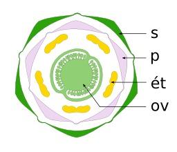 Schéma de fleur de pomme de terre. Source : http://data.abuledu.org/URI/505dabdb-schema-de-fleur-de-pomme-de-terre