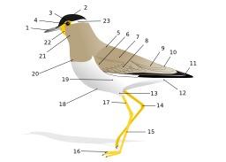 Schéma de la morphologie d'un oiseau. Source : http://data.abuledu.org/URI/51729853-schema-de-la-morphologie-d-un-oiseau
