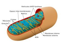 Schéma de mitochondrie animale. Source : http://data.abuledu.org/URI/50709cff-schema-de-mitochondrie-animale