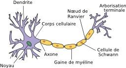 Schéma de neurone. Source : http://data.abuledu.org/URI/528fdb27-schema-de-neurone