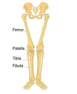 Schéma des os de la jambe humaine. Source : http://data.abuledu.org/URI/503e6523-schema-des-os-de-la-jambe-humaine