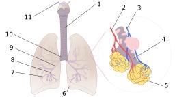 Schéma des poumons humains. Source : http://data.abuledu.org/URI/503e92f0-schema-des-poumons-humains