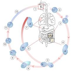 Schéma du cycle de l'Entamoeba histolytica. Source : http://data.abuledu.org/URI/52907473-schema-du-cycle-de-l-entamoeba-histolytica