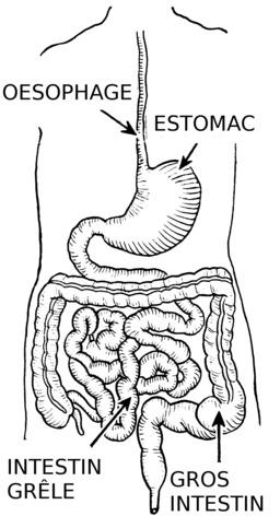 Schéma légendé de l'appareil digestif. Source : http://data.abuledu.org/URI/53ec9344-schema-legende-de-l-appareil-digestif