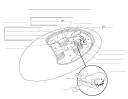 Schéma vierge d'un chloroplaste. Source : http://data.abuledu.org/URI/521501d5-schema-vierge-d-un-chloroplaste