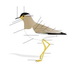 Schéma vierge de la morphologie d'un oiseau. Source : http://data.abuledu.org/URI/5172977c-schema-vierge-de-la-morphologie-d-un-oiseau