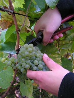Sécateur de vendanges. Source : http://data.abuledu.org/URI/504252f8-secateur-de-vendanges