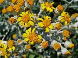 Séneçon cinéraire en fleurs. Source : http://data.abuledu.org/URI/549fcd13-senecon-cineraire-en-fleurs