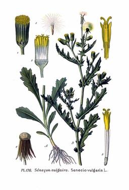 Sénéçon commun. Source : http://data.abuledu.org/URI/5056c37d-senecon-commun
