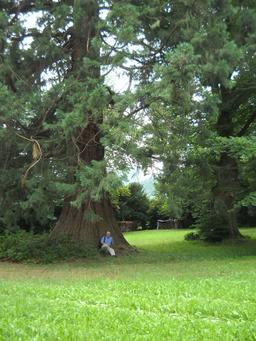 Séquoia d'Ottrott. Source : http://data.abuledu.org/URI/5312683d-sequoia-d-ottrott