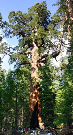 Séquoia géant. Source : http://data.abuledu.org/URI/5356309b-sequoia-geant-