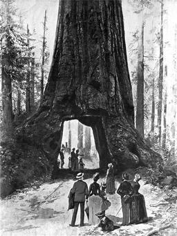 Séquoia géant en 1887. Source : http://data.abuledu.org/URI/53562fca-sequoia-geant-en-1887