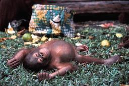 Sieste de petit orang-outan. Source : http://data.abuledu.org/URI/522f0620-sieste-de-petit-orang-outan
