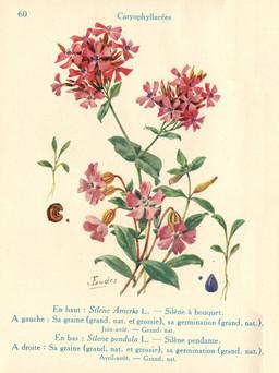Silènes de jardin. Source : http://data.abuledu.org/URI/53adbf99-silenes-de-jardin
