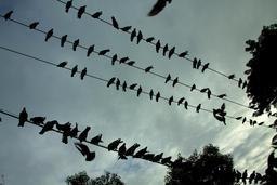 Silhouettes de pigeons sur les fils électriques. Source : http://data.abuledu.org/URI/514e3b63-silhouettes-de-pigeons-sur-les-fils-electriques