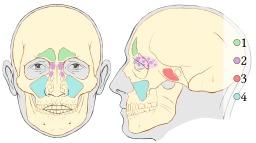 Sinus paranasaux. Source : http://data.abuledu.org/URI/5291c036-sinus-paranasaux